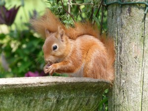 Red Squirrels at Riverside Mill BB Lockerbie