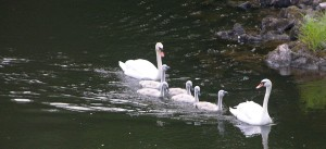 Swans on the River Annan